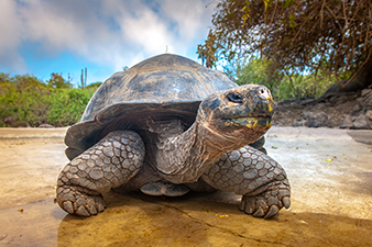 Endangered Giant Tortoise